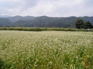 蕎麦畑(そば)